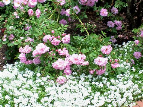 talking to plants rose companion plants
