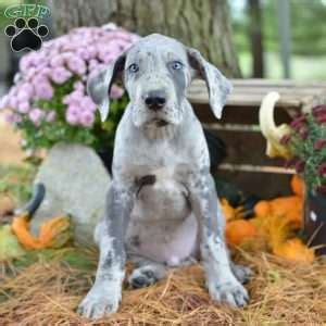 great dane puppies ohio great dane puppies for sale greenfield puppies