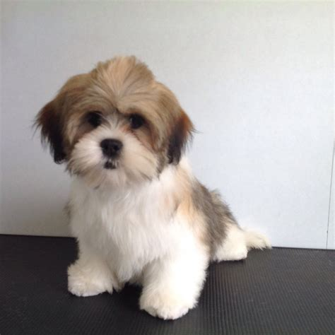pug x lhasa apso puppies for sale puppies for sale lhasa apso humberside pets world