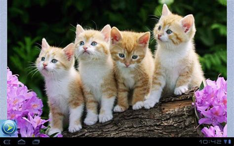 google images kittens kittens pictures 1000 android apps on google play