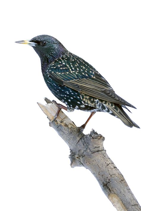 common starling starling control products bird b gone