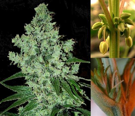 cannabis fiore and the plants botanica per principianti
