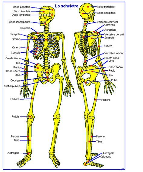 corpo umano maschile organi interni apparato scheletrico umano