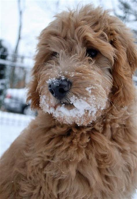goldendoodle daily puppy oliver the goldendoodle dogs daily puppy