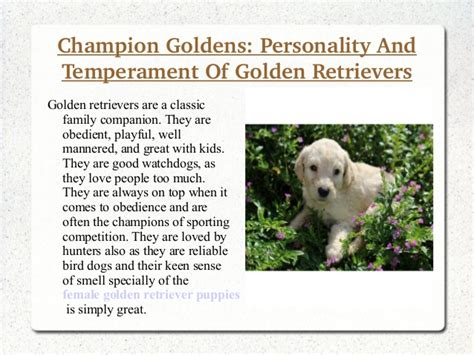 personality of golden retriever chion goldens personality and temperament of golden