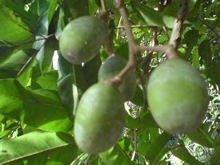 Lu Gantung Di Kenari amar lubai quot kajian lubai quot buah kenari