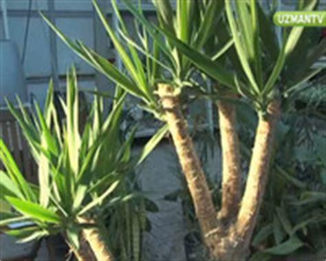 avize agaci yucca bakimi uzmantv