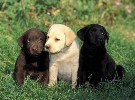 lab puppies ta welpen labrador retriever in schweiz z 252 chter labrador retriever kaufen verkaufen