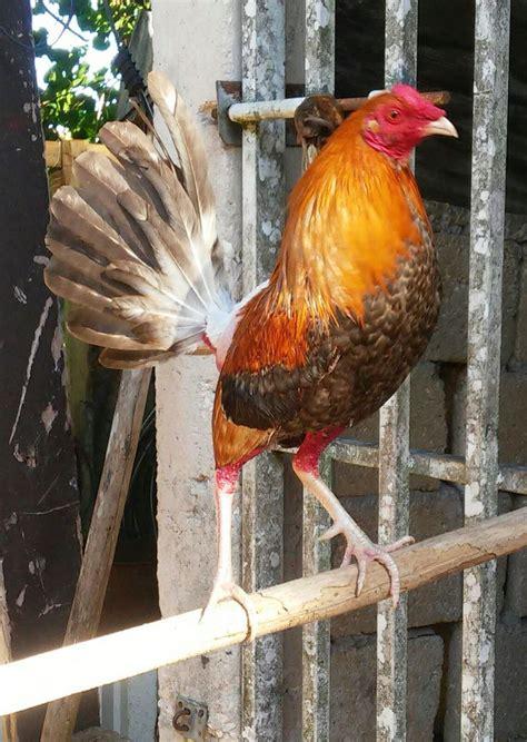 pelea de gallos en cupey san juan pr foto ang233lica allen peleas de desde aguada puerto rico gallo de pelea gallos de 6j