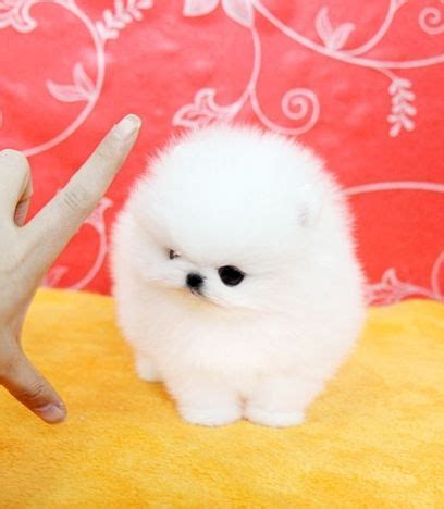 white pomeranian puppies for sale in oklahoma 25 best white pomeranian ideas on white pomeranian puppies teacup