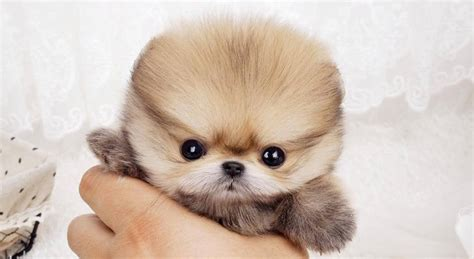 buy pomeranian pet puppy mania white teacup pomeranian puppies for sale buy pomeranian puppies