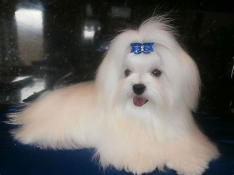 maltese puppies for sale in ny new york teacup puppies for sale maltese puppies new york breeds picture