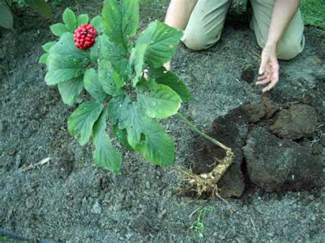 growing ginseng herbal medicine temperate climate permaculture