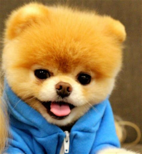 are pomeranians hypoallergenic the pomeranian descended from ancient spitz dogs