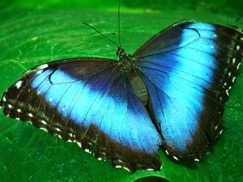 imagenes mariposas turquesas las mariposas las mariposas