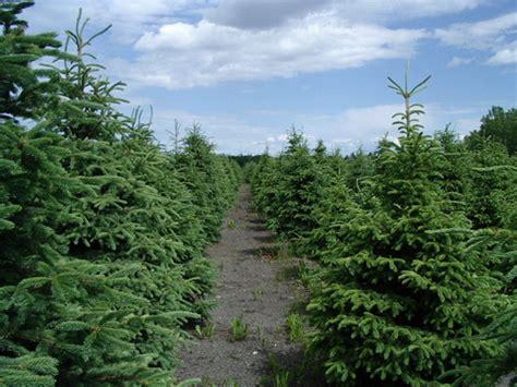 Wholesale Trees - minerva tree farms wholesale trees