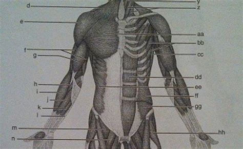 print layout view quizlet print exercise 14 gross anatomy of the muscular system