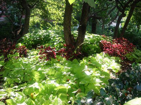 sweet potato vines coleus garden photo hubert steed