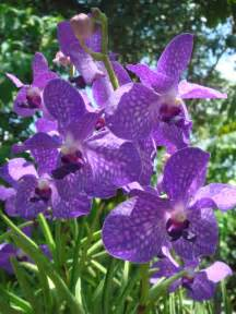 Orchids File Purple Orchids At Am Orchid Society Delray Bch Jpg Wikimedia Commons