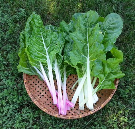 Grow Lights The Gardening Me End Of Season Review Swiss Chard Amp Spinach