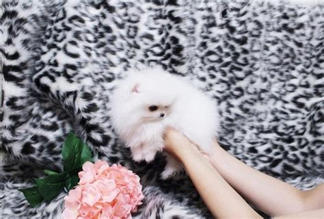 teacup pomeranian for sale utah micro mini teacup pomeranian puppies for sale st george news