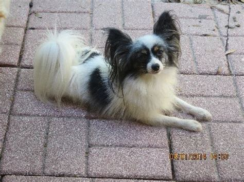 papillon puppies for sale in florida papillon breeders in central florida cutepapillonpuppies