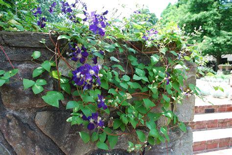 purple flowering vines storytellers