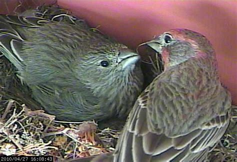 what do baby house finches eat house finches nest again in 2010 live webcam