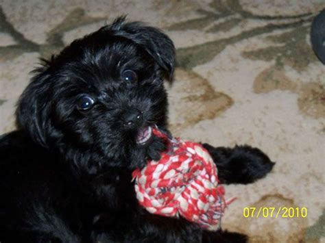 yorkie poo diet 17 best images about yorkie poos on high tops jordans and tea cups