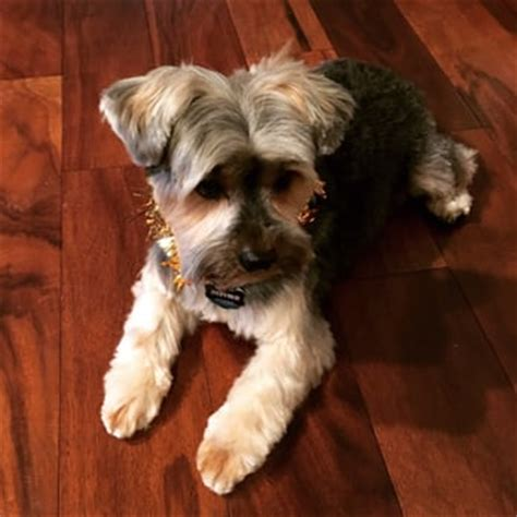 yorkie with a schnauzer cut debbie s pet grooming 36 reviews pet groomers 3575 thousand oaks blvd