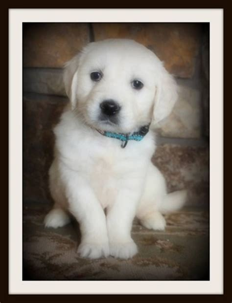 golden retriever puppies for sale oregon golden retriever sale oregon dogs our friends photo