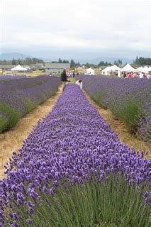 growing lavender in arizona aromatic notes
