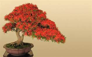 bonsai tree world s smallest plants bonsai trees images pictures hd wallpapers photos awesome bonsai