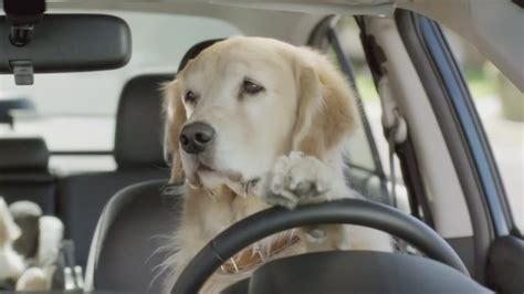 golden retriever driving pictures in a car doglers