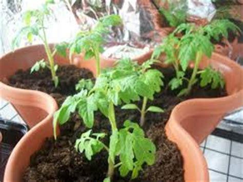 Pupuk Untuk Bunga Tomat merawat tabulot tomat berbuah lebat tanaman bunga hias