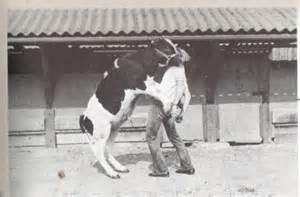 deckbullen beim decken arbeit und mit einem jungbullen landtreff de