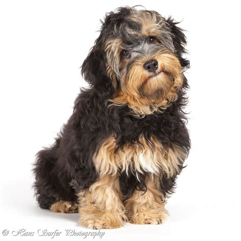 how big havanese dogs get havanese puppy get y the for pup s puppys and havanese puppies