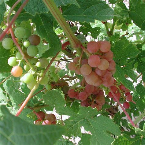 gurneys tickled pink grape vitis  bareroot