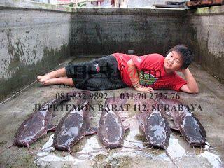 Jual Bibit Lele Sangkuriang Lamongan budidaya ikan lele sangkuriang dan ternak lele terbesar di