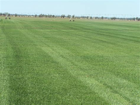 wintergreen couch seed wintergreen couch grass queensland blue barmac pty ltd