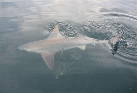 blues budak utara blues budak utara bull shark