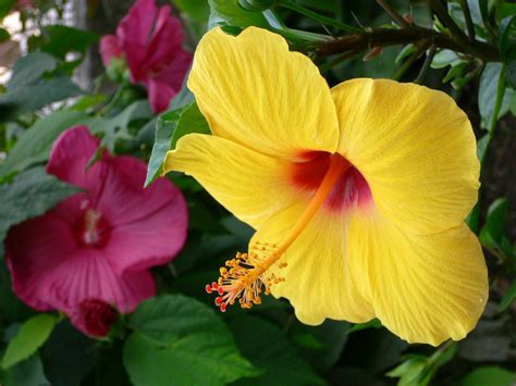 yellow hibiscus state flower of hawaii http wp me p1gkzp yellow quot hibiscus rosa sinensis quot and red quot hibiscus moscheut