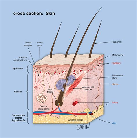 cross section of the skin illustrations on behance
