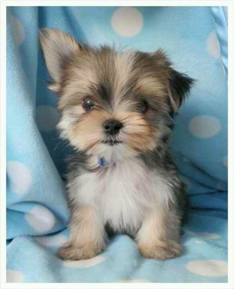 all about yorkies maltese yorkie all about addilyn