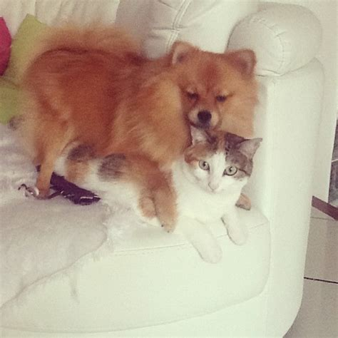 pomeranian and cats 9 breeds that get along with cats barkpost