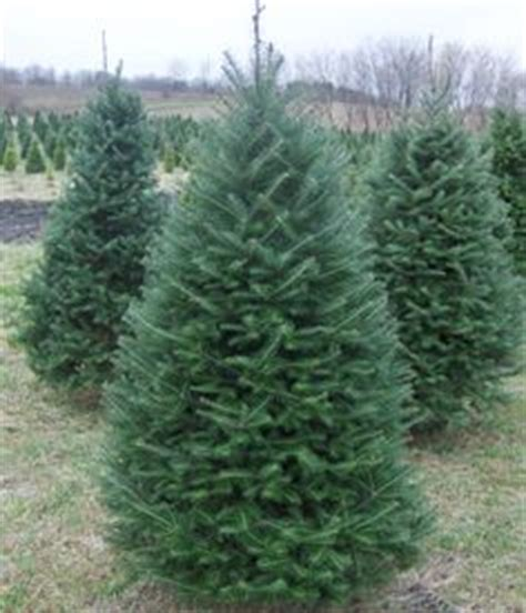 which christmas tree smells like oranges concolor fir smells like citrus the holidays and such firs and evergreen trees