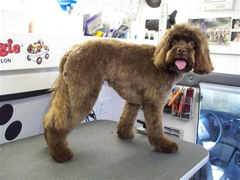 cockapoo haircuts before and after cockapoo grooming images frompo