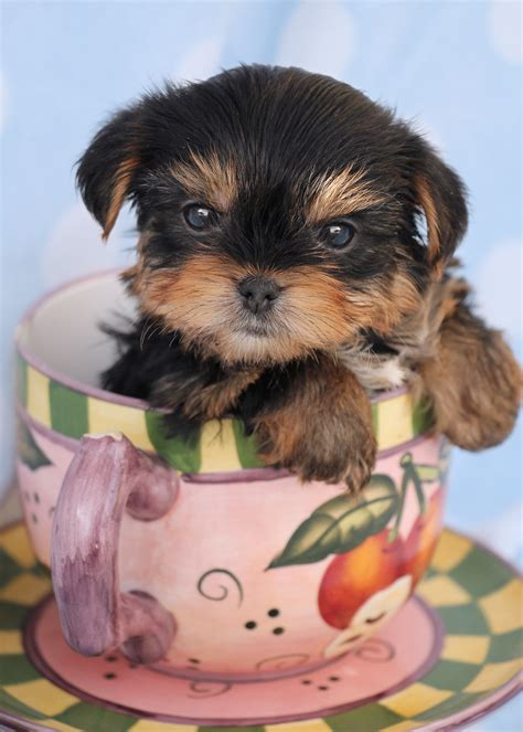yorkie boutique maltese puppies for sale at teacups puppy boutique south florida breeds picture