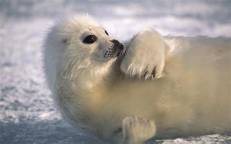 so seal animal seal