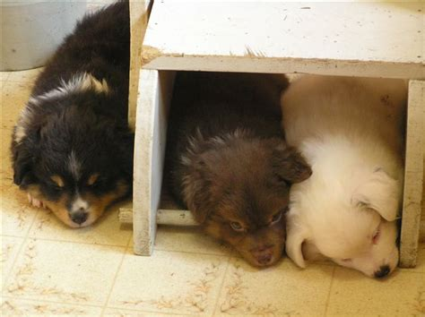 pups schemel aussie puppies